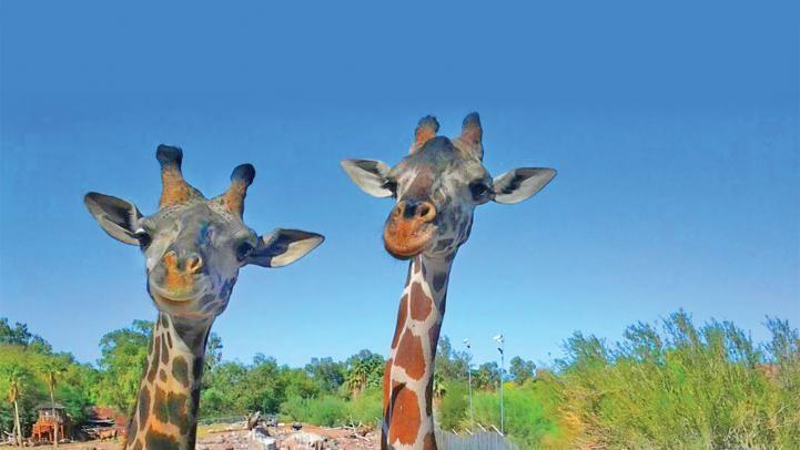 Giraffes at Phoenix Zoo