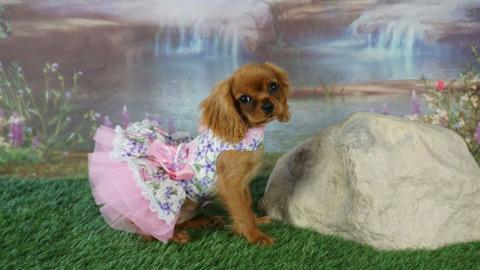 Ruby Cavalier puppy in pink dress